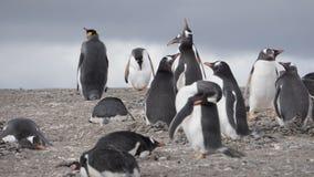 Pingwiny przy Isla Martillo, Beagle Korytkowy Ushuaia Patagonia Tierra Del Fuego Argentyna obraz royalty free