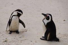 Pingwiny przy Stołowym Moutain parkiem narodowym, Południowa Afryka Obrazy Stock