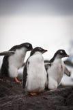 pingwiny trzy Obraz Stock