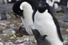 Pingwiny w Antarctica zdjęcie stock