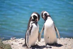 Pingwiny w miłości Zdjęcie Stock