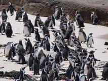 Pingwiny w przylądka punkcie Południowa Afryka Obraz Stock
