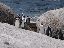Pingwiny w przylądka punkcie Południowa Afryka Obrazy Stock