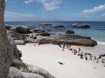 Pingwiny w przylądka punkcie Południowa Afryka Obrazy Royalty Free