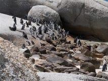 Pingwiny w przylądka punkcie Południowa Afryka Zdjęcia Royalty Free