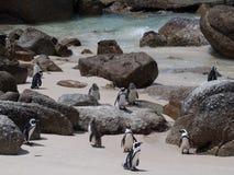 Pingwiny w przylądka punkcie Południowa Afryka Fotografia Stock
