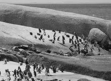 Pingwiny w przylądka punkcie Południowa Afryka Obraz Royalty Free