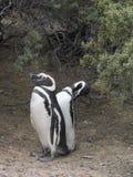 Pingwiny w Punta Tombo Argentyna zdjęcie royalty free