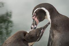 Pingwiny w Rosyjskim zoo Obraz Stock