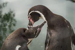 Pingwiny w Rosyjskim zoo Fotografia Royalty Free