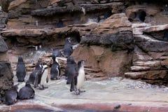 Pingwiny w Seattle zoo fotografia royalty free