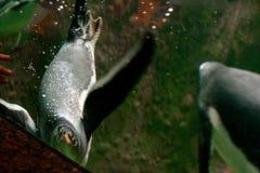 Pingwiny w zoo zdjęcia stock