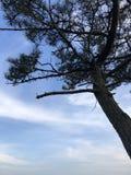 Pinhões do verde da árvore da montanha foto de stock