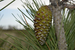 Pinha_Pine rożek Zdjęcie Stock