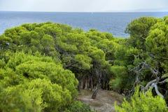 Pinheiral na frente do mar na ilha de Tremiti ao sul de Itália imagem de stock royalty free