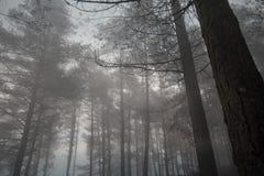 Pinheiral nevoento misterioso imagens de stock