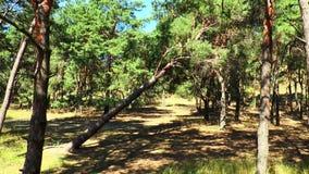 Pinheiro caído na floresta video estoque