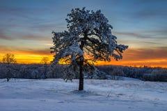 Pinheiro coberto de neve, parque nacional de Cumberland Gap foto de stock royalty free