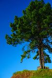 Pinheiro com o céu azul claro Imagem de Stock Royalty Free