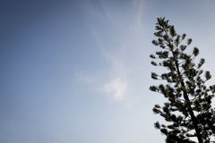Pinheiro da silhueta com céu azul Fotografia de Stock Royalty Free