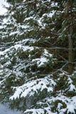 Pinheiro das tampas de neve após a tempestade do inverno fotografia de stock royalty free