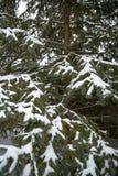 Pinheiro das tampas de neve após a tempestade do inverno fotografia de stock