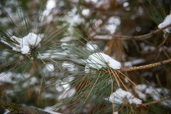 Pinheiro das tampas de neve após a tempestade do inverno imagem de stock