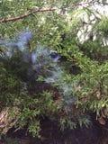 Pinheiro de fumo Imagens de Stock Royalty Free