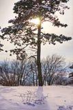 Pinheiro durante o tempo de inverno Imagens de Stock Royalty Free