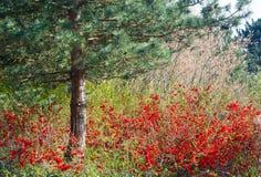 Pinheiro e arbusto de florescência no parque da mola imagens de stock