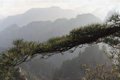 Pinheiro em montanhas de Huangshan fotografia de stock