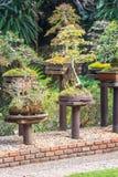 Pinheiro em pasta para a decoração do jardim, beleza ajardinando do jardim Imagem de Stock