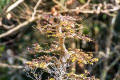 Pinheiro em pasta para a decoração do jardim, beleza ajardinando do jardim Imagens de Stock Royalty Free