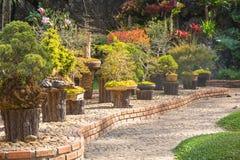 Pinheiro em pasta para a decoração do jardim, beleza ajardinando do jardim Foto de Stock