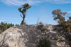 Pinheiro em Yellowstone Foto de Stock Royalty Free