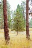 Pinheiro entre duas árvores altas finas foto de stock royalty free
