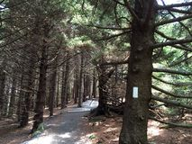 Pinheiro Forest On The Appalachian Trail fotos de stock royalty free