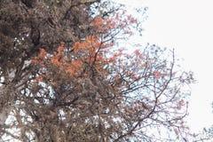 Pinheiro inoperante com cores do outono fotos de stock