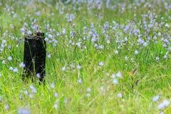 Pinheiro inoperante na flor da flor Imagens de Stock