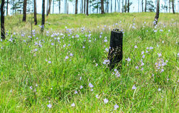 Pinheiro inoperante na flor da flor Imagem de Stock Royalty Free