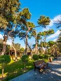Pinheiro muito velho no parque de beira-mar nacional na cidade de Baku Fotos de Stock Royalty Free
