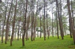 Pinheiro na floresta de Pang Ung em Mae Hong Son Imagens de Stock