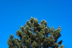 Pinheiro na frente do céu azul Foto de Stock