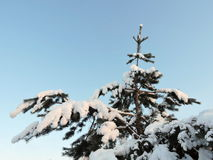 Pinheiro nevado Fotos de Stock Royalty Free