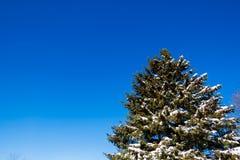 Pinheiro nevado Fotos de Stock