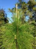 Pinheiro novo que cresce nas madeiras em Daytona sul, Florida Imagens de Stock