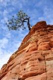 Pinheiro que cresce em uma formação do arenito em Zion Foto de Stock Royalty Free
