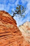 Pinheiro que cresce sobre uma formação do arenito em Zion Foto de Stock