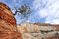 Pinheiro sobre uma formação do arenito em Zion Fotos de Stock