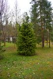 Pinheiro solitário novo na floresta verde fresca imagens de stock
